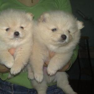 Продам щенка померанского  (миниатюрного) шпица