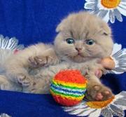 Продаются супер плюшевые вислоухие котики